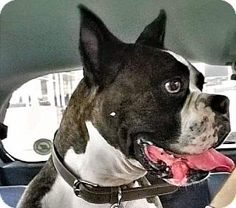 Boxer Mix Dog for adoption in Irmo, South Carolina - Bosco
