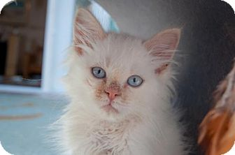 Domestic Mediumhair Kitten for adoption in Santa Rosa, California - Rowdy