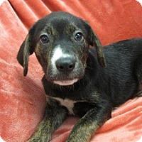 Adopt A Pet :: Loki - Bartonsville, PA
