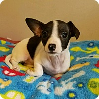 Dachshund/Chihuahua Mix Puppy for adoption in Lodi, California - Roxy
