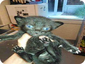 Domestic Mediumhair Kitten for adoption in Jacksonville, Florida - CRANK