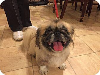 Pekingese Dog for adoption in Poplarville,, Mississippi - Yosi