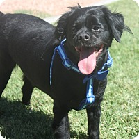 Adopt A Pet :: Cappy - Henderson, NV