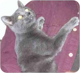 Domestic Shorthair Cat for adoption in Fayette, Missouri - Reno