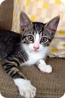 Domestic Shorthair Kitten for adoption in Narberth, Pennsylvania - Dallas