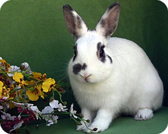 Dwarf Hotot Mix for adoption in Bonita, California - Bella