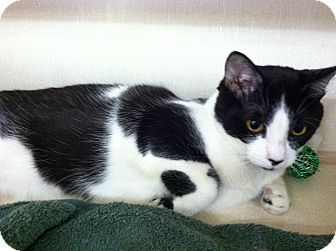 Domestic Shorthair Cat for adoption in Riverhead, New York - Deedle