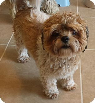 shih tzu toy poodle mix pet not found 4358