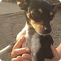 Adopt A Pet :: Sprinkle - McAllen, TX