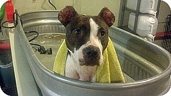 American Pit Bull Terrier Mix Dog for adoption in nashville, Tennessee - Sadie