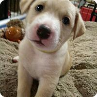 Adopt A Pet :: Leo - Westminster, MD