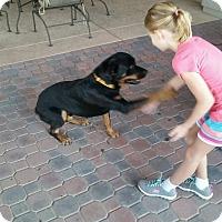 Adopt A Pet :: Sugar Bear - Gilbert, AZ