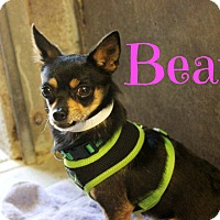 Adopt A Pet :: Bear (Courtesy Post) - Scottsdale, AZ