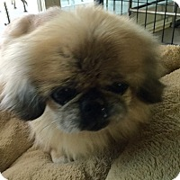 Adopt A Pet :: SHOKO - SO CALIF, CA