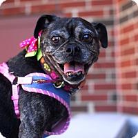 Adopt A Pet :: Corkie-Adopted! - Detroit, MI