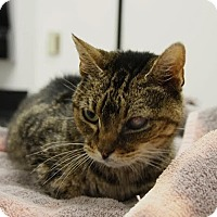 Domestic Shorthair Cat for adoption in Beverly Hills, California - GERTRUDE