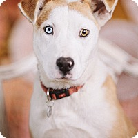 Adopt A Pet :: Taz - Portland, OR
