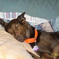 Border Collie/Labrador Retriever Mix Dog for adoption in Shaw AFB, South Carolina - Dakota3