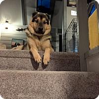 Adopt A Pet :: Sol - Rowlett, TX