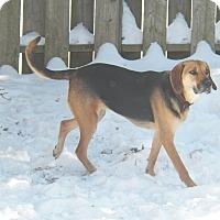 Hound (Unknown Type) Mix Dog for adoption in Cambridge, Ontario - Maggie
