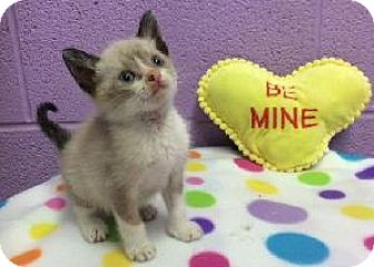 Siamese Kitten for adoption in Richardson, Texas - Simon