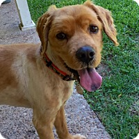 Adopt A Pet :: Simon - Sugarland, TX