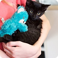 Domestic Shorthair Kitten for adoption in Chattanooga, Tennessee - Bullwinkle
