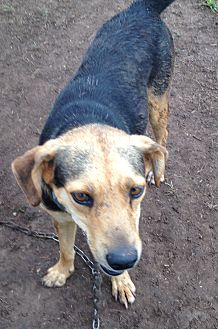 Shepherd (Unknown Type) Mix Dog for adoption in Beeville, Texas - Bandit