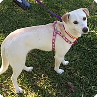 Adopt A Pet :: Kate in Arlington - Austin, TX