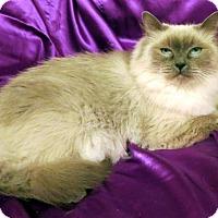 Birman Cat for adoption in St. Louis, Missouri - Madelina