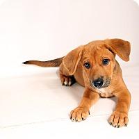 Adopt A Pet :: McGregor Mt. Cur Mix - St. Louis, MO