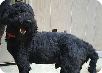 Poodle (Standard) Mix Dog for adoption in Antioch, Illinois - Benji - ADOPTED!!