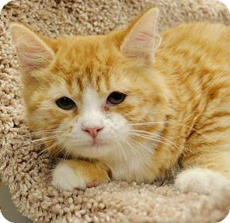 Domestic Mediumhair Kitten for adoption in Horn Lake, Mississippi - Lil Bit