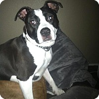 Adopt A Pet :: Jazzy - Denver, CO