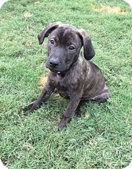 Labrador Retriever Mix Puppy for adoption in Plainfield, Connecticut - Miss Tigger