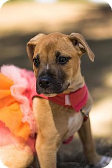 Boxer Mix Puppy for adoption in Jacksonville, Alabama - Bindi