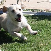 Adopt A Pet :: Sasha - Henderson, NV