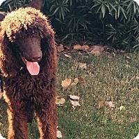 Adopt A Pet :: Tyson - Mesquite, TX