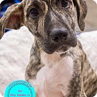 Adopt A Pet :: Morgan - Staten Island, NY