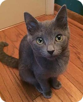 Domestic Shorthair Kitten for adoption in Merrifield, Virginia - Calvin