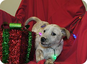 Australian Cattle Dog/Blue Heeler Mix Puppy for adoption in Allentown, Pennsylvania - (P) Rusty ~ ADOPTED!
