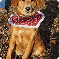 Adopt A Pet :: IVY ~ GOLDEN MIX - Hanover, PA