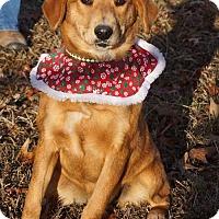 Golden Retriever/Sheltie, Shetland Sheepdog Mix Puppy for adoption in Hanover, Pennsylvania - IVY ~ GOLDEN MIX