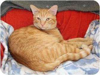 Domestic Shorthair Cat for adoption in Nolensville, Tennessee - Tiger the Super Cuddler