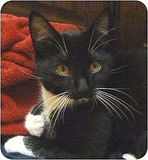 Domestic Shorthair Cat for adoption in Watsontown, Pennsylvania - Bertie (and Bert )