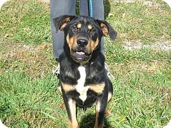 Rottweiler Mix Dog for adoption in Zanesville, Ohio - # 359-12 @ Animal Shelter