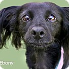 Adopt A Pet :: Ebony - looking for a COMPASSIONATE home! videos