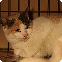 Domestic Shorthair Kitten for adoption in New York, New York - Sorbet