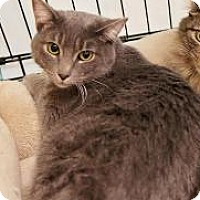 Domestic Shorthair Cat for adoption in Yorba Linda, California - Elsa