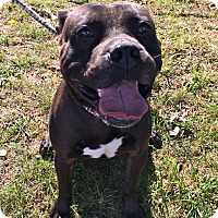 Adopt A Pet :: Ollie in CT - East Hartford, CT
